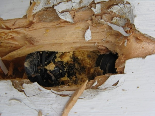 how to build a carpenter bee house